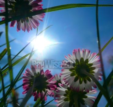 daisies seen from below