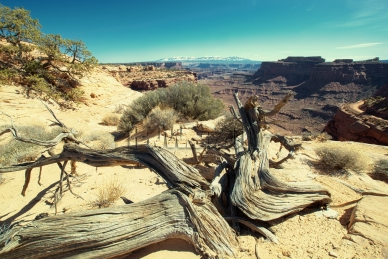 Canyonlands - gnarled tree